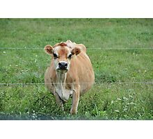 Jersey Cow in Amish Country Photographic Print