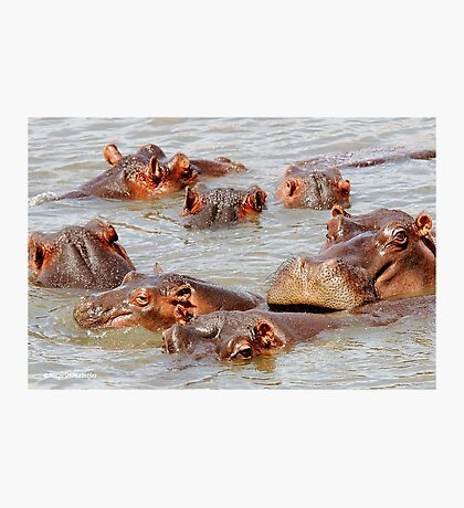 A FAMILY GATHERING - *Hippopotamus amphibious* Photographic Print