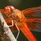 Red Dragonfly II by loiteke