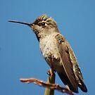 Angry Hummingbird by loiteke