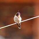 Anna's Hummingbird by Laura Puglia
