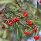 Pyrocanthus Berries by Laura Puglia