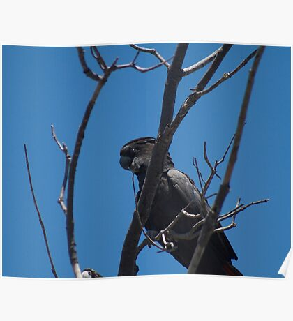 Red Tailed Black Cockatoo (Male)  Poster
