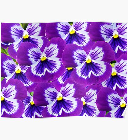 Purple Pansy Pefection Poster