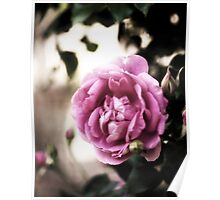 Rose of Provence Poster