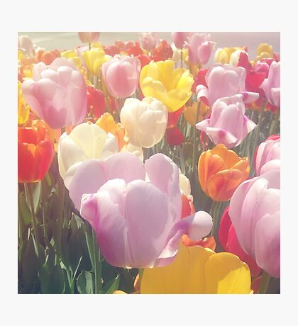 Colorful Tulip Flowers Photographic Print