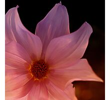Tree dahlia Photographic Print