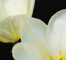 Two White Tulips Sticker