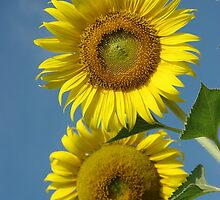 Hello Sunflower by Rainy