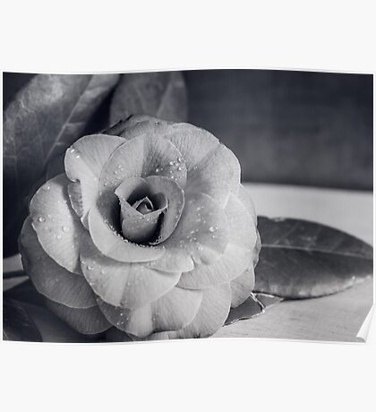 Camellia Black and White Poster