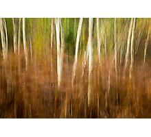 Silver Birch in Autumn Ferns Photographic Print