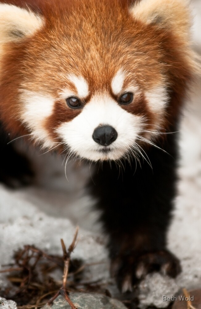 Red Panda by Beth Wold