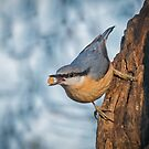 Nuthatch with food by alan tunnicliffe