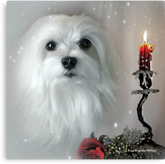Snowdrop the Maltese - The Light in my Life ! by Morag Bates