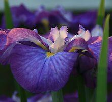 Japaneese Iris At Sunset by Geno Rugh