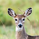 Portrait of a Whitetail Deer by mcstory