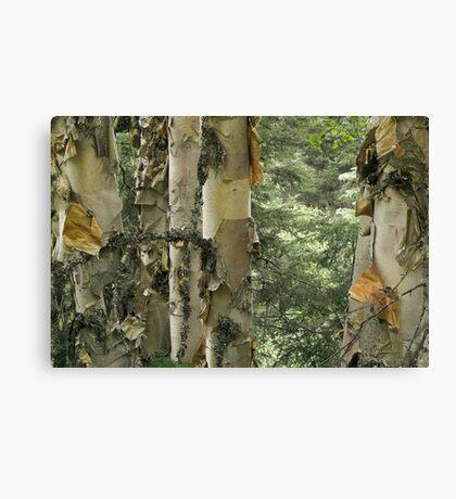 Paper Birches Canvas Print