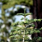 Young Red Fir by Chris Gudger