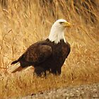 Bald Eagle in the Grass  by lorilee
