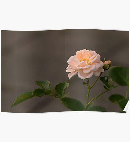 Tender Rose Poster