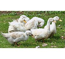 Teenage Ducks Photographic Print