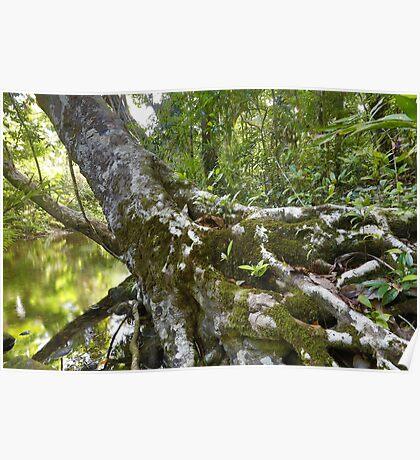 Oliver Creek, Daintree Rainforest Poster