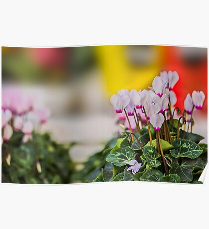 Cyclamen flowers background. Poster
