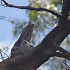 Tawny Frogmouth with Chicks by Lynda Robinson