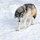 Winter Wolf Walk _ Timber Wolf by Poete100