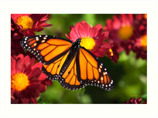 Monarch Butterfly by Christina Rollo
