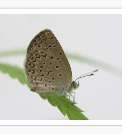 African grass blue Sticker