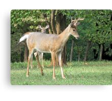 Young Buck and the Peeper Canvas Print