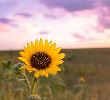 Sunflower at Sunset by Aimee Miller
