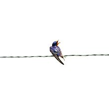 Barn Swallow by J. L. Gould