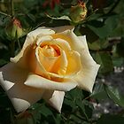 Rose......mellow yellow.......! by Roy  Massicks