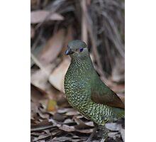 Female Bower Bird Photographic Print