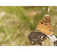 Shouldered Brown Butterfly Photographic Print
