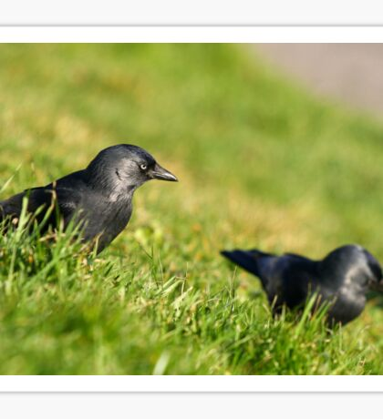 Jackdaw in grass I Sticker