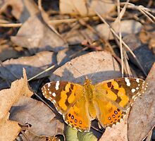 Australian Painted Lady - wings open by NaturalCultural