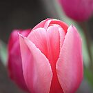 Tulip Beauty Queen by Claudia Dingle