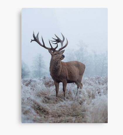 Monarch in a field of white Metal Print