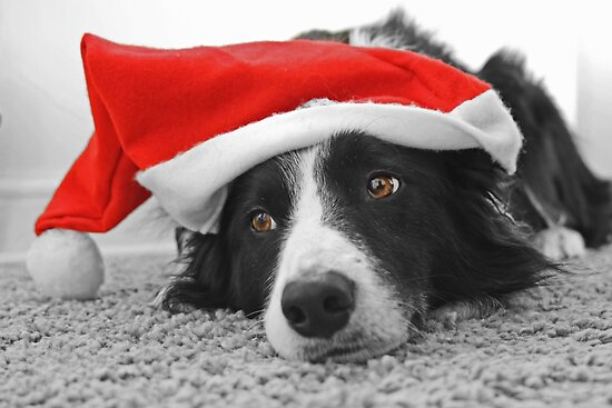 Border Collie Christmas Card - Santa's Little Helper by Furtographic