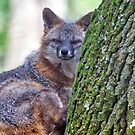 Grey Foxing Looking at Me by TJ Baccari Photography