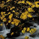 Vine Maple and Water by Charles & Patricia   Harkins ~ Picture Oregon