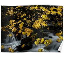 Vine Maple and Water Poster