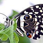 Papilio demoleus by John Thurgood