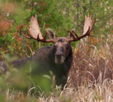 Bull Moose in Algonquin Park, Canada Sticker