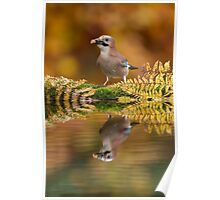 Eurasian Jay at the pond Poster