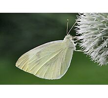 Green Veined White Butterfly  Photographic Print