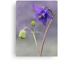 Aquilegia Flower Canvas Print